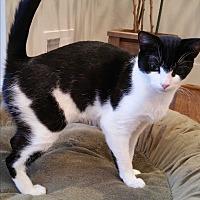 Adopt A Pet :: CeCe- Purr-meister - Arlington, VA