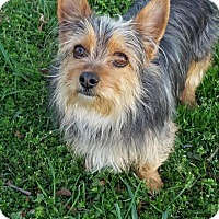 Adopt A Pet :: Billy Madison - Allentown, PA