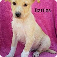 Adopt A Pet :: Bartles - New Oxford, PA