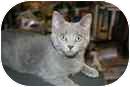 Domestic Shorthair Kitten for adoption in Delmont, Pennsylvania - Lizzy & Sara