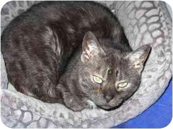 Domestic Shorthair Cat for adoption in Markham, Ontario - Smoke