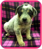 Australian Cattle Dog Mix Puppy for adoption in Allentown, Pennsylvania - Stormy