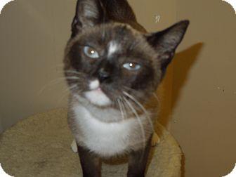 Snowshoe Cat for adoption in Medina, Ohio - Lucy