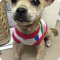 Adopt A Pet :: Coco - Ocean Ridge, FL