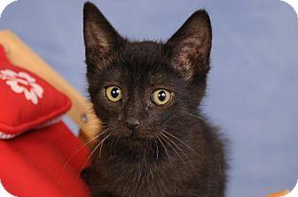 Domestic Shorthair Kitten for adoption in mishawaka, Indiana - Smudge