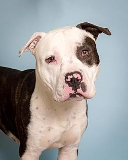 Pit Bull Terrier Mix Dog for adoption in Santa Paula, California - Brutus