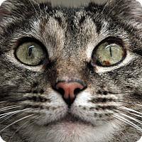 Adopt A Pet :: Etta James - St. Louis, MO