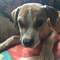 American Bulldog/Terrier (Unknown Type, Medium) Mix Puppy for adoption in Detroit, Michigan - Chikis