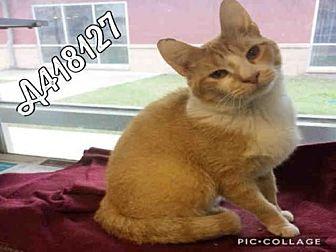 Domestic Mediumhair Cat for adoption in San Antonio, Texas - NEMO