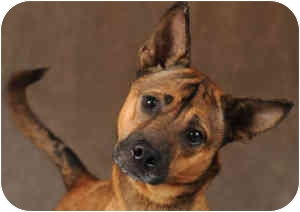 Basenji/German Shepherd Dog Mix Dog for adoption in Chicago, Illinois - Patrick(ADOPTED!)