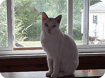 Polydactyl/Hemingway Kitten for adoption in Saint Albans, West Virginia - Milky Way