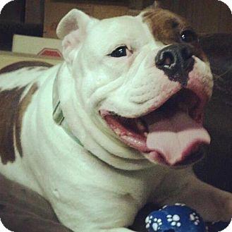 Bulldog Dog for adoption in Freeport, New York - Buster