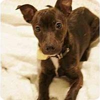 Adopt A Pet :: Dash - Rigaud, QC