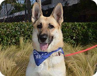 German Shepherd Dog Dog for adoption in Irvine, California - Jenny