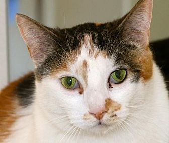 Calico Cat for adoption in Lancaster, California - Sugar