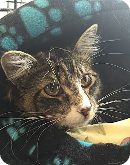 Domestic Longhair Cat for adoption in Middletown, New York - Sammy