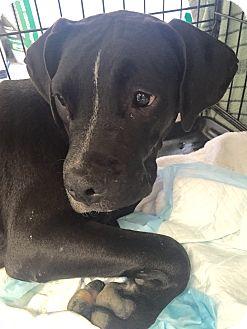 Labrador Retriever Mix Dog for adoption in Evergreen, Colorado - Halifax