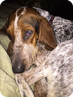 Redtick Coonhound/English (Redtick) Coonhound Mix Dog for adoption in Bardonia, New York - Patty