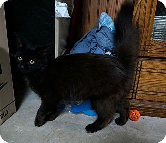 Domestic Longhair Cat for adoption in Manitowoc, Wisconsin - Raven