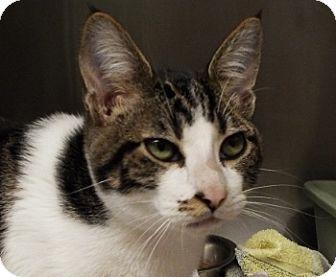 Domestic Shorthair Cat for adoption in Grants Pass, Oregon - Duke