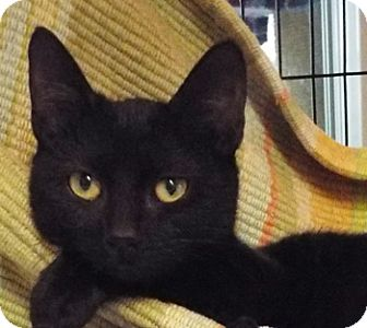 Domestic Shorthair Kitten for adoption in Grants Pass, Oregon - Sweet Pea