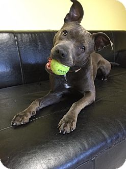American Pit Bull Terrier Mix Dog for adoption in Philadelphia, Pennsylvania - Fiona