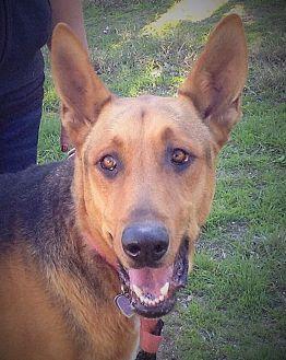 German Shepherd Dog/Doberman Pinscher Mix Dog for adoption in Santa Ana, California - Spike