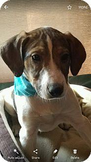 Labrador Retriever Mix Puppy for adoption in Union Grove, Wisconsin - Dante