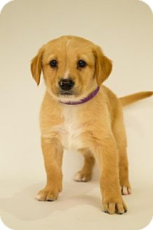 Collie/Labrador Retriever Mix Puppy for adoption in Centreville, Virginia - Ruby
