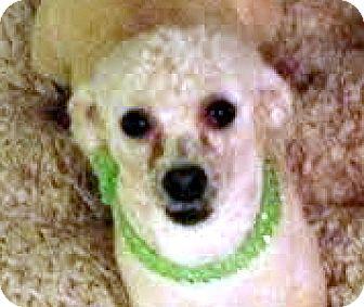 Poodle (Miniature)/Maltese Mix Dog for adoption in Las Vegas, Nevada - Leo