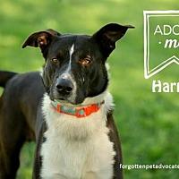 Adopt A Pet :: Harper - Pearland, TX