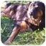 Photo 2 - Rottweiler/Chow Chow Mix Dog for adoption in Howes Cave, New York - Casey