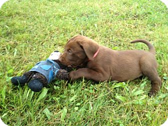 Labrador Retriever Mix Puppy for adoption in Russellville, Kentucky - Hunter