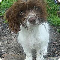 Adopt A Pet :: Victoria (Tori) - Sugarland, TX