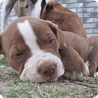 Adopt A Pet :: Diezel - Copperas Cove, TX