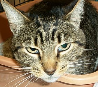 Domestic Shorthair Cat for adoption in Castro Valley, California - Katy