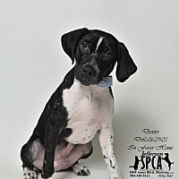 Adopt A Pet :: Dexter - In Foster Home - Marrero, LA
