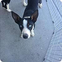 Adopt A Pet :: Chance - San Angelo, TX