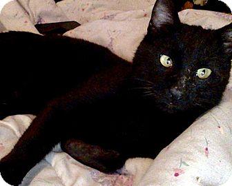 Bombay Cat for adoption in Brooklyn, New York - Marshall, Cross-eyed Cutie