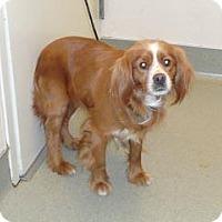 Spaniel (Unknown Type) Mix Dog for adoption in Wildomar, California - Carson