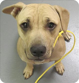American Staffordshire Terrier Mix Dog for adoption in Dallas, Georgia - 16-12-3831 Christmas