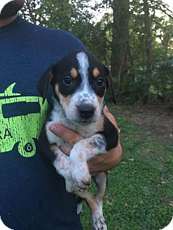 Beagle/Shepherd (Unknown Type) Mix Puppy for adoption in Glastonbury, Connecticut - Freckles