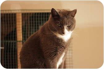 Domestic Shorthair Cat for adoption in Jenkintown, Pennsylvania - Greyson