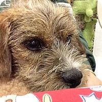 Adopt A Pet :: Monkey - Shirley, NY