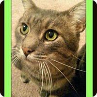 Domestic Shorthair Cat for adoption in Valley Park, Missouri - Finn
