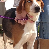 Treeing Walker Coonhound/Catahoula Leopard Dog Mix Dog for adoption in Baton Rouge, Louisiana - Malibu