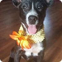 Adopt A Pet :: Gin - Toledo, OH