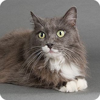 Domestic Longhair Cat for adoption in Wilmington, Delaware - Miss Kitty