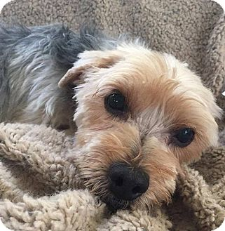 Yorkie, Yorkshire Terrier/Shih Tzu Mix Dog for adoption in West Linn, Oregon - Mac