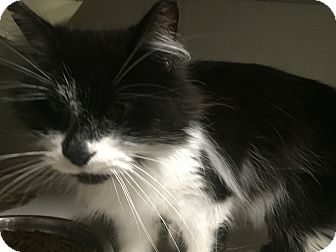 Domestic Mediumhair Cat for adoption in Warren, Michigan - Elle (bonded w/Tia)